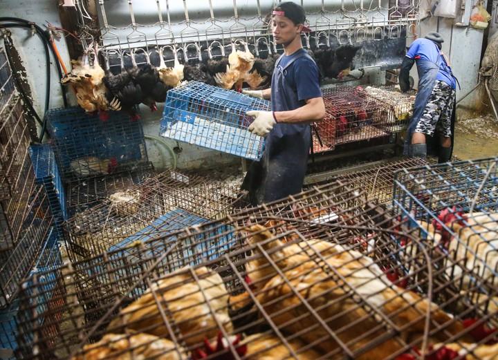 許多雞隻今天凌晨湧入台北市家禽批發市場。記者鄭清元/攝影