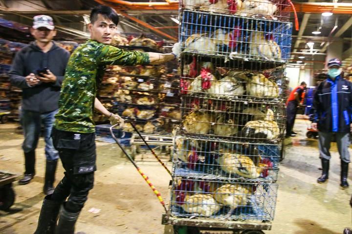 雞販們火速處理雞隻。記者鄭清元/攝影