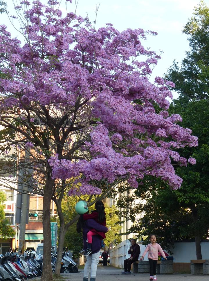 彰化市南校街南郭國小後門這棵紅花風鈴木怒放,開得像支棉花糖,讓親子感受到春天的腳步近了。記者劉明岩/攝影