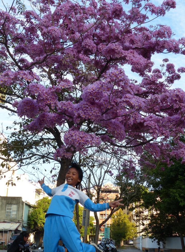 彰化市南校街南郭國小後門這棵紅花風鈴木怒放,開得像支棉花糖,小朋友在花間留下美麗的回憶。記者劉明岩/攝影