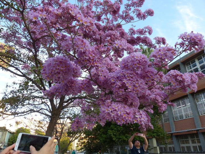 彰化市南校街南郭國小後門這棵紅花風鈴木怒放,開得像支棉花糖,美不勝收,吸引許多人前往拍照。記者劉明岩/攝影