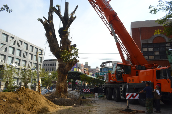 台南市列管的珍貴樹木掌葉蘋婆,今天移植到台南一中。記者鄭惠仁/攝影