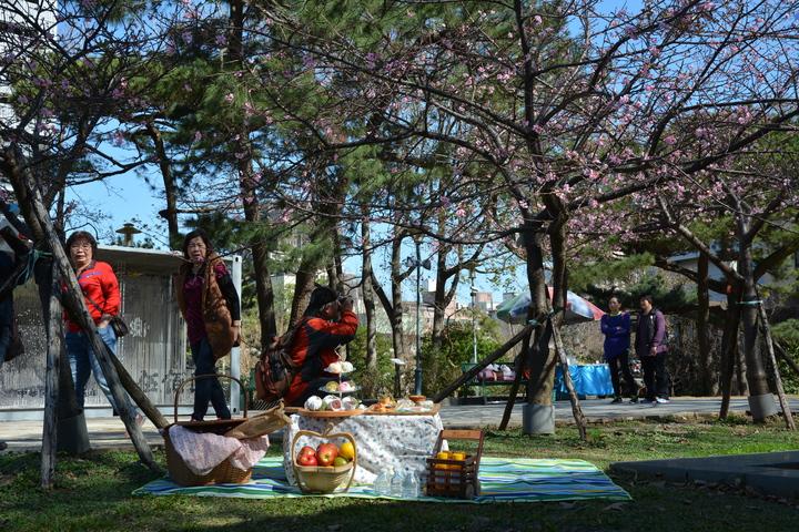 新竹市長林智堅指新竹公園8百多株櫻花即將盛開,歡迎遊客2月25日到櫻花樹下野餐聆賞樂音。記者林家琛/攝影