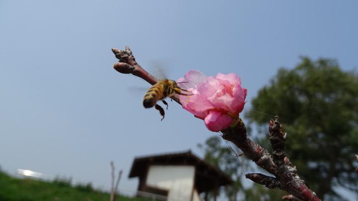含苞待放的河津櫻花苞吸引蜜蜂來採蜜。記者謝進盛/攝影