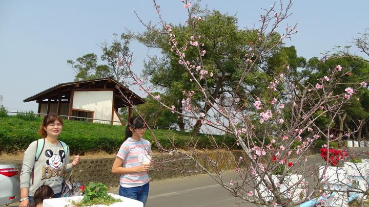 烏山頭水庫櫻花公園河津櫻綻放,吸引遊客駐足欣賞。記者謝進盛/攝影