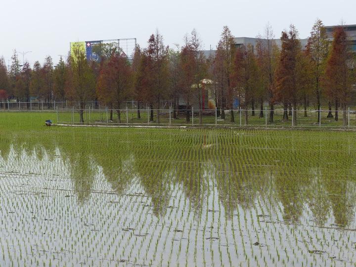 彰化縣花壇鄉台74甲線即彰化東外環接近中山路處,有上百棵落羽松才剛在翻紅,映照在剛插秧的稻田,令人賞心悅目。記者劉明岩/攝影