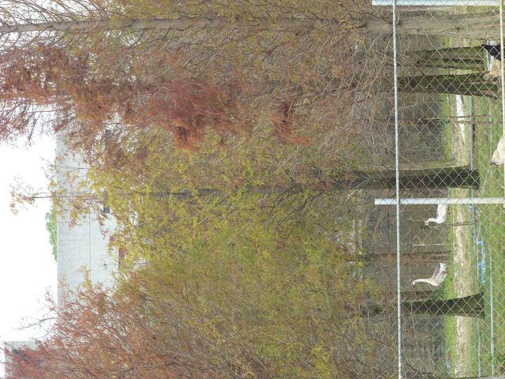 彰化縣花壇鄉台74甲線即彰化東外環接近中山路處,有上百棵落羽松才剛在翻紅,林間下,雞鴨鵝悠閒漫步,好一幅田園風光。記者劉明岩/攝影