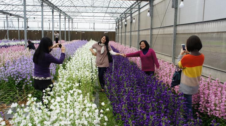 許多民眾爭相前往台南區農業改良場雲林分場欣賞風鈴花。記者李京昇/攝影