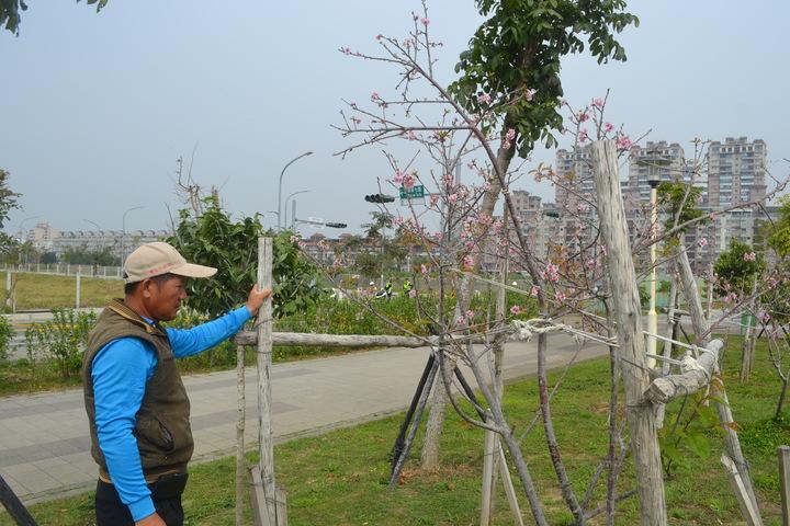 台南市巴克禮公園河津櫻花區內的「櫻王」,已約3公尺高。記者鄭惠仁/攝影