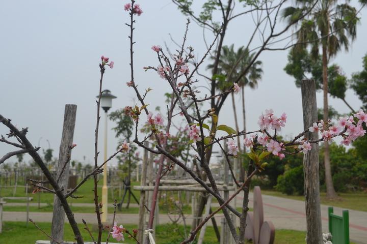 台南市巴克禮公園河津櫻花區內的櫻花正盛開,是市區最夯的賞櫻處。記者鄭惠仁/攝影