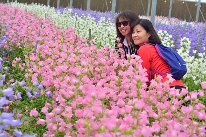 台南區農改場雲林分場「風鈴花」爆紅,傳出明年可能沒有了,民眾期盼能再續種。記者吳淑玲/攝影