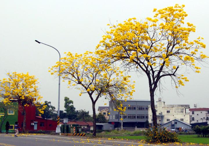 芬園鄉彰南路一段到三段路旁呈現黃金大道美景。記者林敬家/攝影