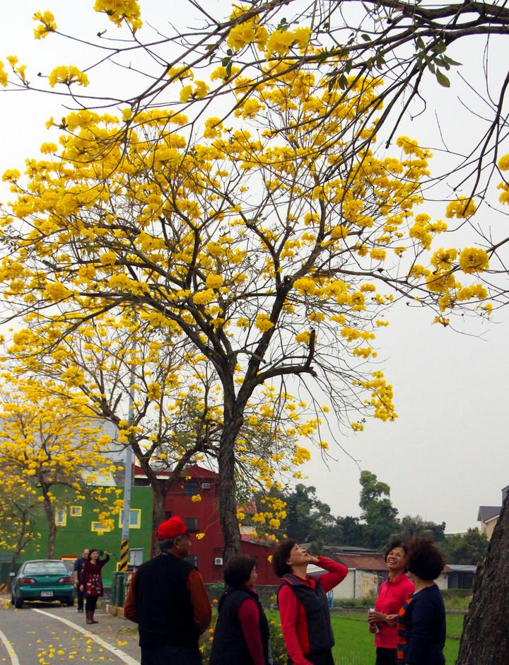 芬園鄉寶藏寺到寶山社區路段的黃花風鈴木陸續盛開。記者林敬家/攝影