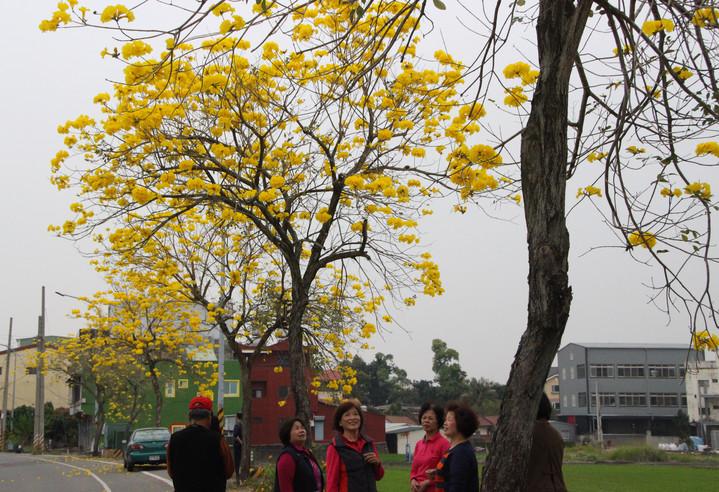 芬園鄉彰南路一段到三段路旁呈現黃金大道美景,吸引遊客拍照。記者林敬家/攝影