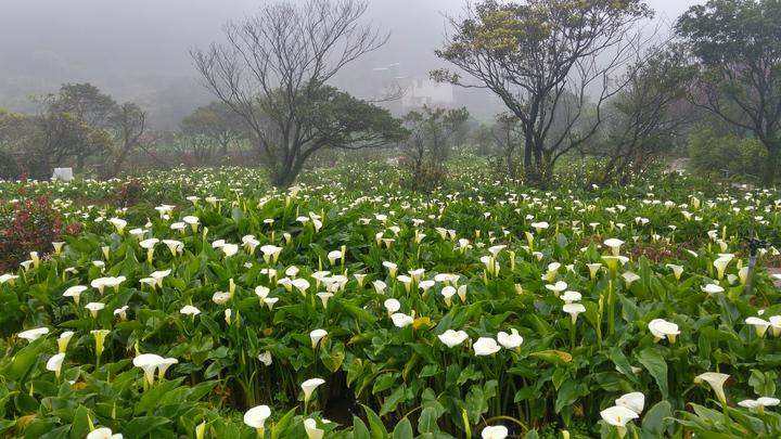 竹子湖長年霧氣圍繞,是最適合海芋的生長環境。記者莊琇閔/攝影