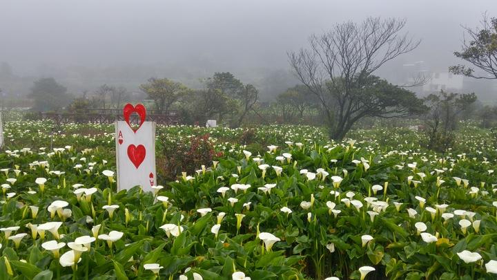 竹子湖海芋已開花超過5成。記者莊琇閔/攝影