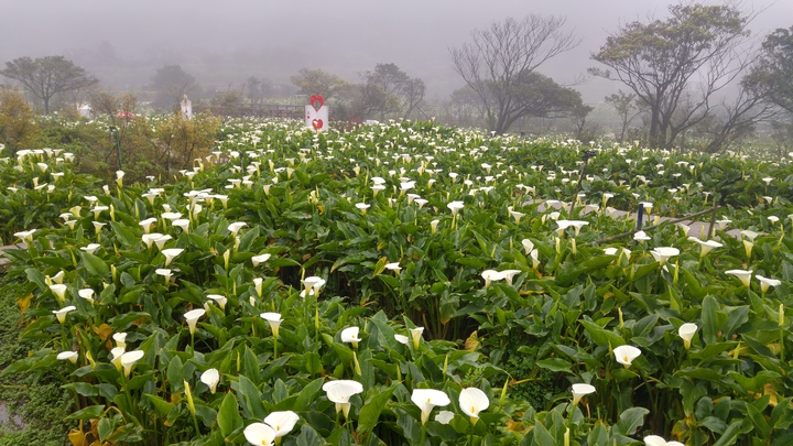 乳白潔淨粉嫩的海芋花,在綠意盎然的田園間獨樹一格。記者莊琇閔/攝影