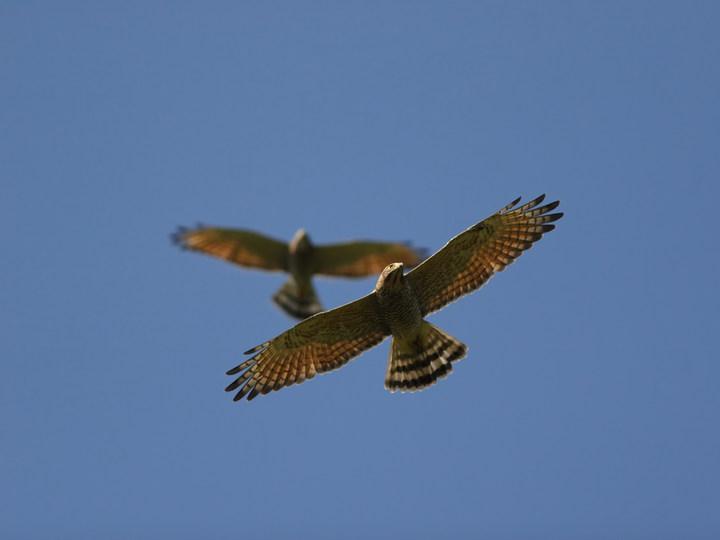 「清明鳥」灰面鵟鷹爆量過境,未來一周都是黃金賞鷹期。圖/許智揚提供