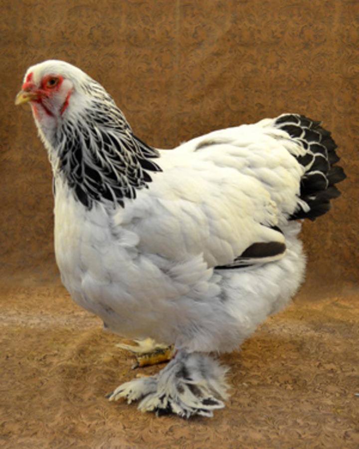 在網路爆紅的遺產品種「婆羅門雞」,最重可達8公斤左右。(翻攝:The Livestock Conservancy)