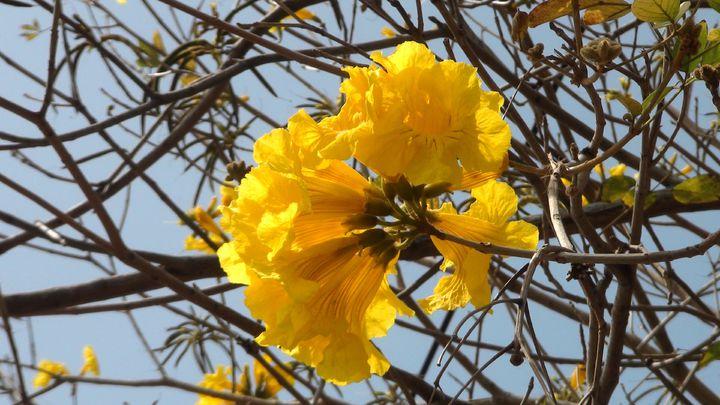 八掌溪畔黃花風鈴木正美,成為城市亮點。記者王慧瑛/攝影