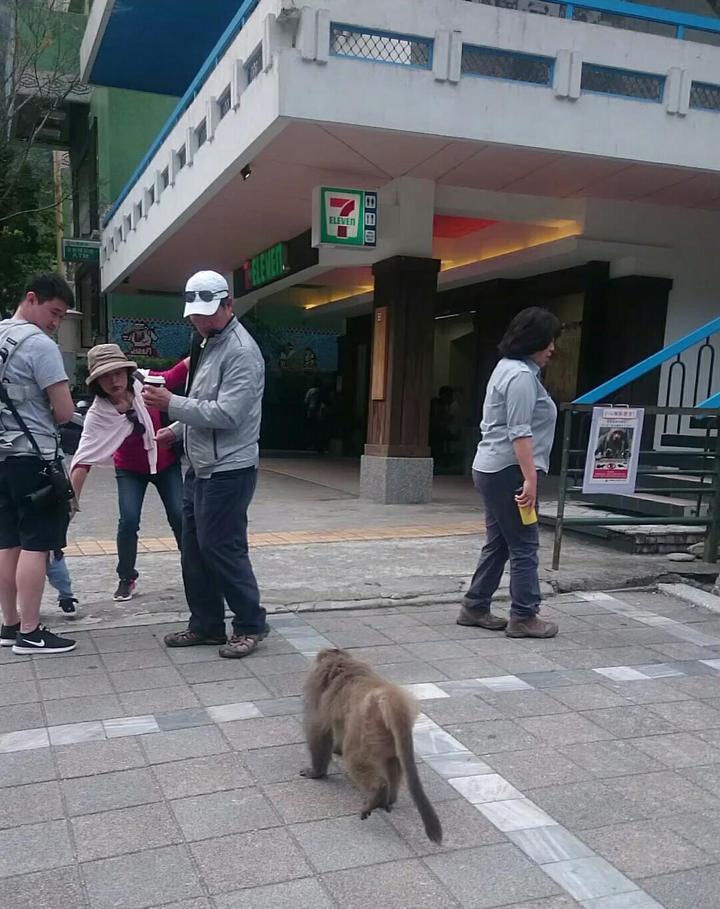 只要有遊客手中有食物,猴王就會緩緩靠近準備搶行搶。圖/賴姓民眾提供