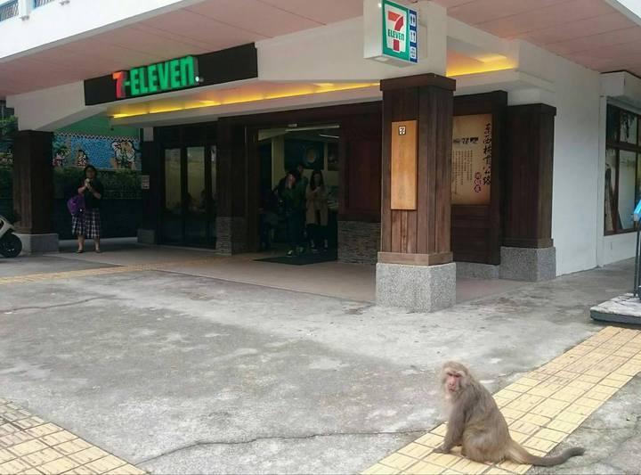猴王都在天祥7-11超商旁,等遊客買好食物走出來。圖/賴姓民眾提供