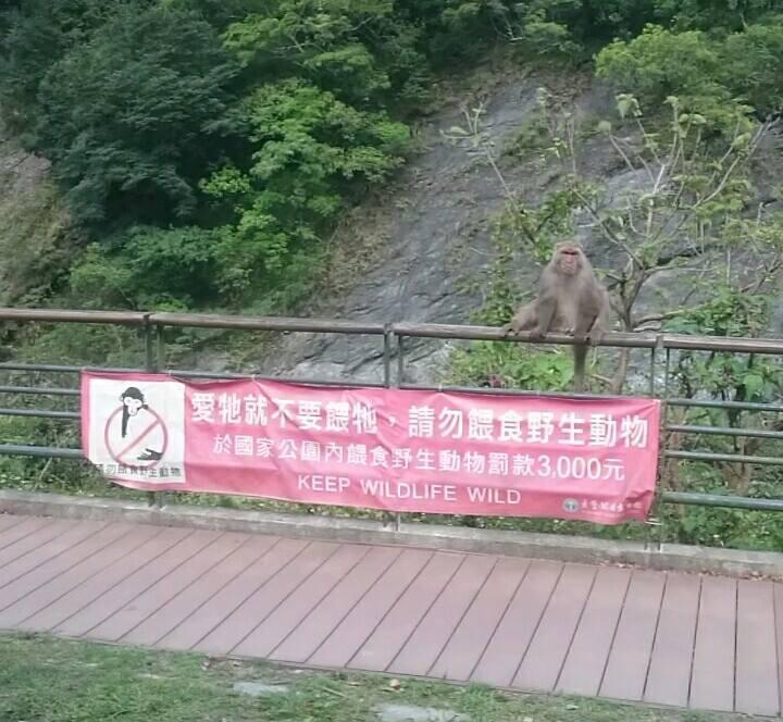 為防止猴群養成向遊客搶食的習慣,太魯閣國家公園管理處在園區內都掛有「禁餵猴群食物」等布條。圖/賴姓民眾提供