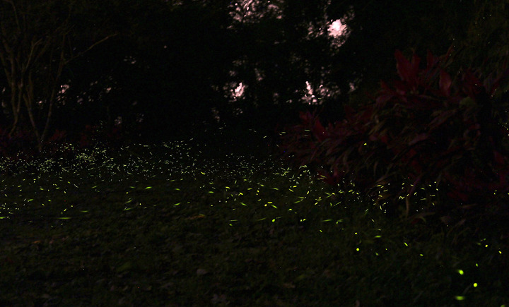 石門水庫溪洲山步道夜間就成為黃緣螢星光大道。記者張雅婷/攝影