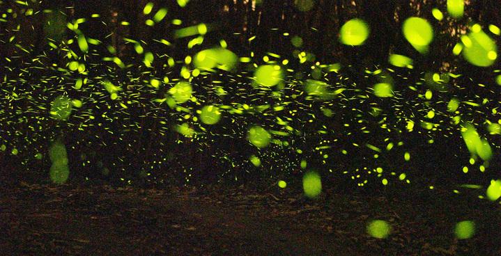 台南關山社區三縣界是螢火蟲秘境,夜晚可見數十萬螢火蟲點點螢光大爆發。記者劉學聖/攝影