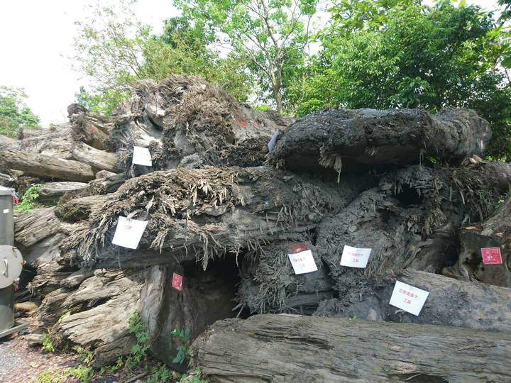宜蘭檢警林破獲山老鼠集團,起出檜木扁柏等原木。記者羅建旺/攝影
