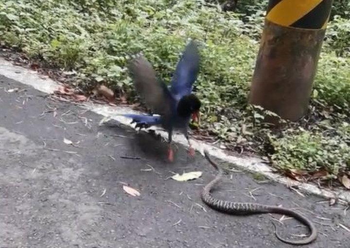 第三級保育動物「台灣藍鵲」激戰王錦蛇的珍貴畫面,有山友幸運目睹且攝錄。圖/擷取自影片圖/擷取自影片【影片/蕭姓巡山員提供】