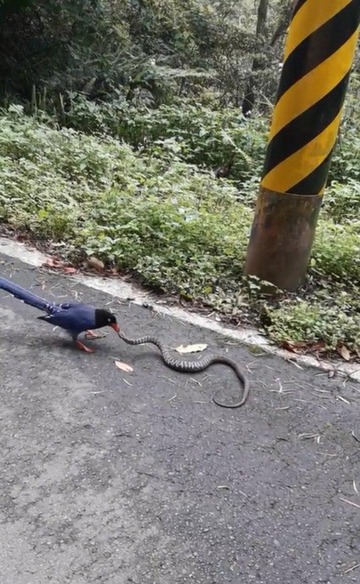 台灣藍鵲的身手敏捷,經多次跳躍攻擊,最後成功捕食王錦蛇。圖/擷取自影片【影片/蕭姓巡山員提供】