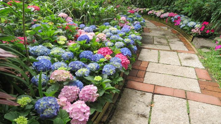繡球花開花團錦簇,花徑處處是驚喜。記者范榮達/攝影