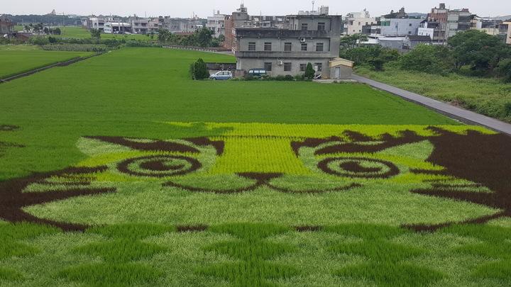 苗栗縣苑裡鎮農會稻田彩繪今年選用苗栗吉祥物「貓裏喵」的石虎圖案,最近正是觀賞的好時機。記者胡蓬生/攝影