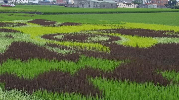 苑裡鎮農會稻田彩繪選用台農67號改良雜交而成的品種,有黃、白、紫色,加上一般的綠色水稻品種,共有4種顏色呈現。記者胡蓬生/攝影