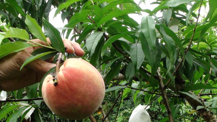 去年寒害、今年暖冬,熱帶水蜜桃連續兩年大減產。記者謝恩得/攝影