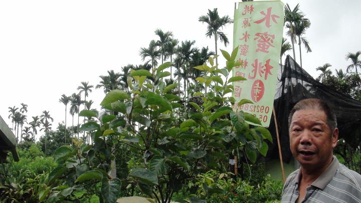 張村藻熱帶水蜜桃都採草生栽培和有機肥。記者謝恩得/攝影