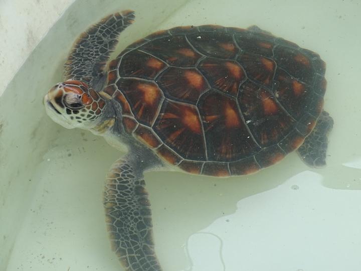 金門昨發現1隻瀕絕的綠蠵龜,綠蠵龜不時會將頭探出水面,模樣相當可愛。記者蔡家蓁/攝影