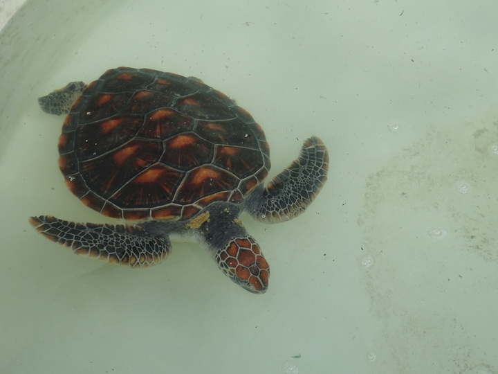 金門昨發現1隻瀕絕的綠蠵龜,綠蠵龜暫時收容在水試所準備的水池裡,身體復原情況良好。記者蔡家蓁/攝影