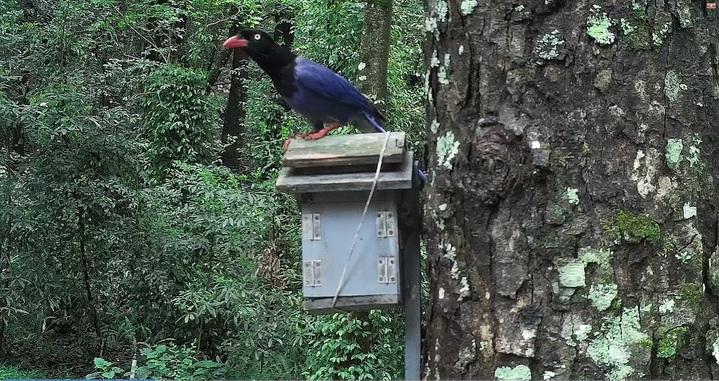 台灣藍鵲霸佔青背山翁鳥巢箱,不斷嘗試鑽探洞搜尋幼鳥,返家鳥媽媽則在外驚恐等候。圖/南投林管處提供