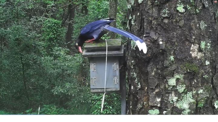 台灣藍鵲霸佔青背山翁的鳥巢箱,賊頭賊腦的超像日前爆紅狂甩脖子的「垃圾鴿」。圖/南投林管處提供