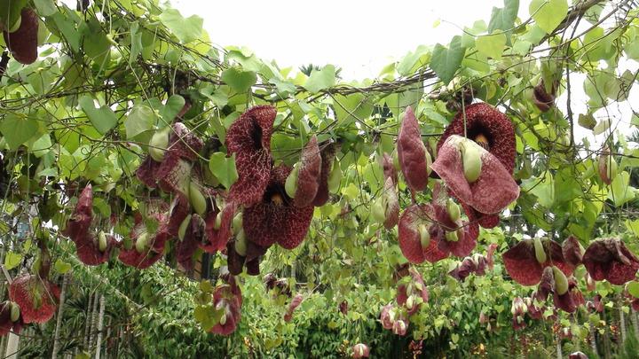 原產於南美洲的煙斗花,去年在南台灣竟全年開花。記者謝恩得/攝影