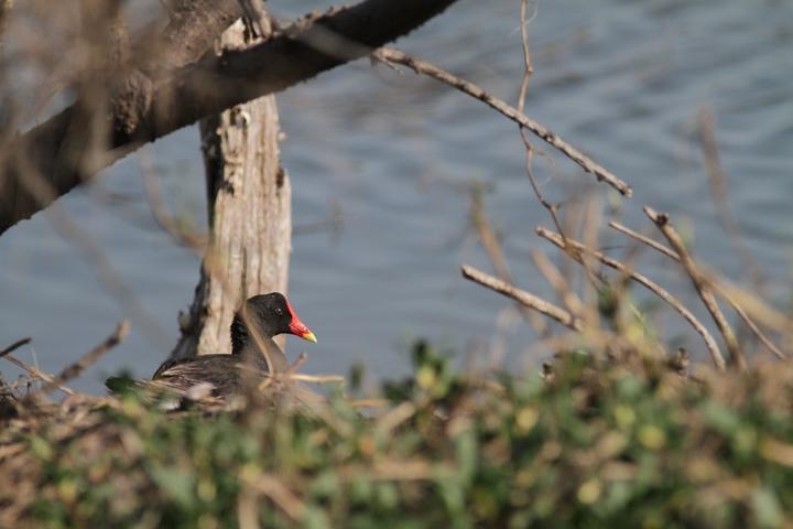 園區常見留鳥紅冠水雞正在育雛。圖/嘉義林區管理處提供
