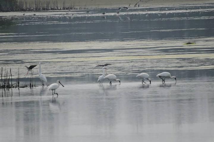 鰲鼓濕地還有黑面琶鷺的亞成鳥還未北返。圖/嘉義林區管理處提供
