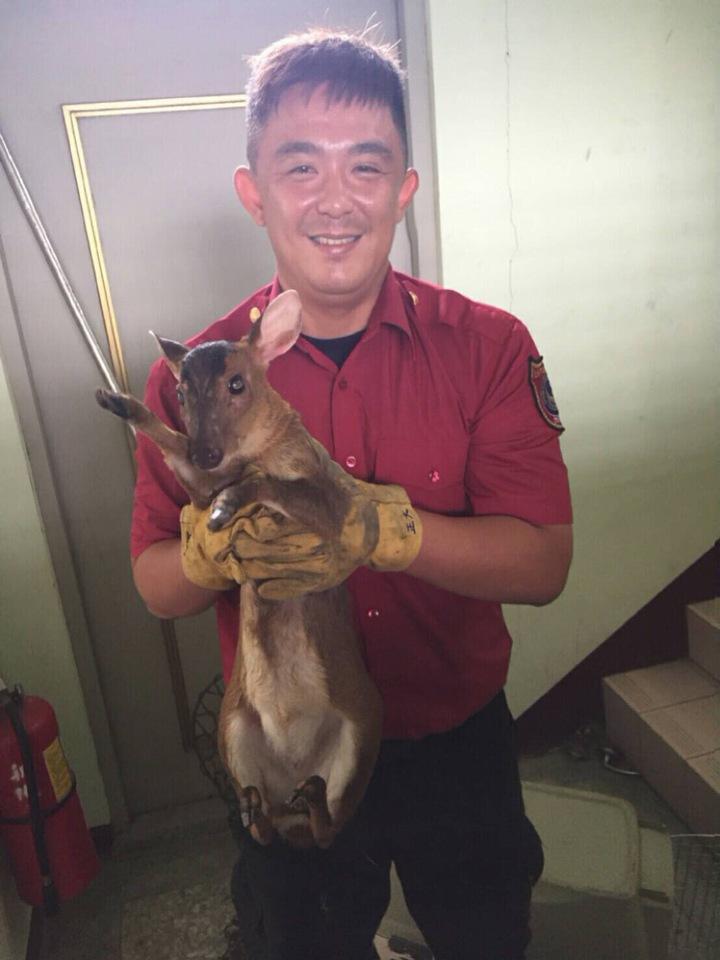 台南新化消防分隊隊員今天接獲民眾報案,有「大貓」闖入,結果竟是一隻保育類「小山羌」。記者吳淑玲/翻攝