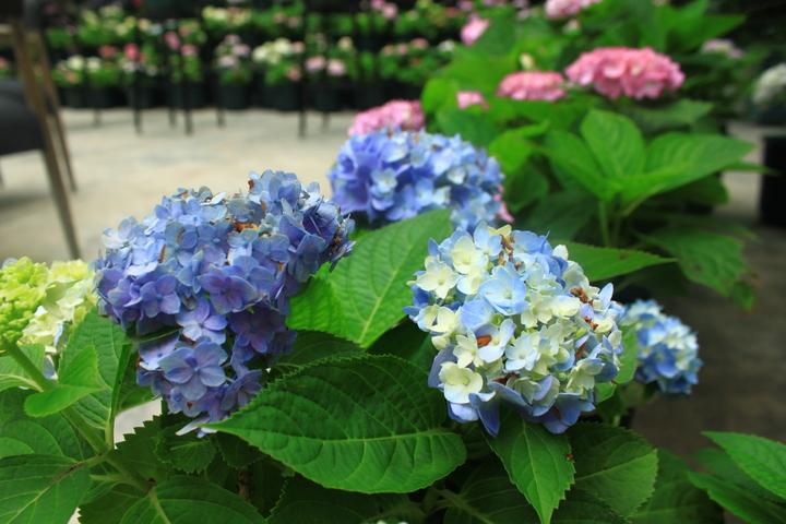 台灣花鳥園除了培育台灣常建戶外開花植物,也引進日本特色花卉品種。記者郭政芬/攝影