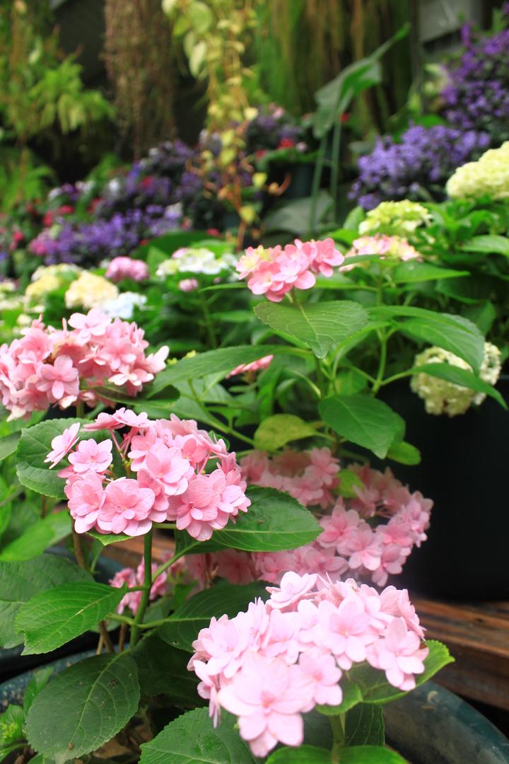 新竹縣關西鎮台灣花鳥園內有8000棵的繡球花,300多個品種。記者郭政芬/攝影