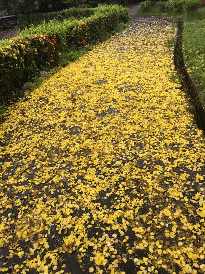 虎頭埤阿勃勒花盛開,花瓣掉落滿地如黃金地毯,美不勝收。記者吳淑玲/攝影