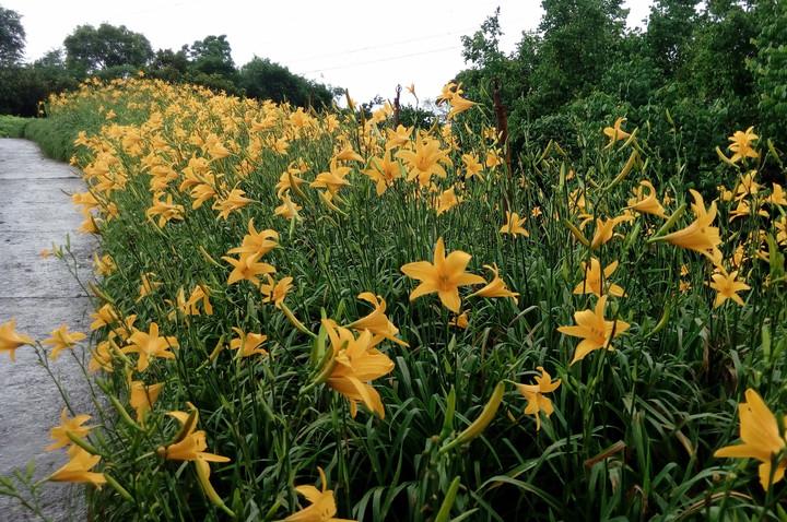 花壇鄉岩竹村一處私人金針花園這個周末將免費開放參觀。記者林敬家/攝影