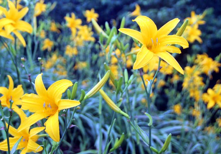 花壇鄉金針花園黃澄澄一片,相當壯觀。記者林敬家/攝影